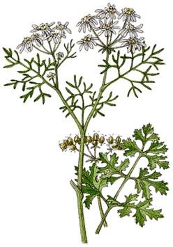 Des vertus des plantes par Macer Floridus, 1832 Coriandre