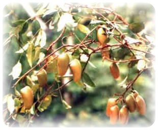 Duo griffonia basilic sacre for 5 htp plante