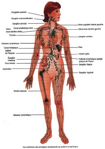 circulation sanguine périphérique